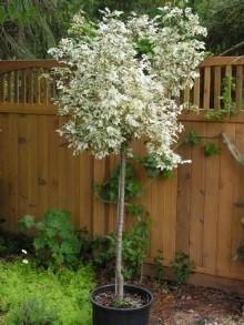 Carnival Hedge Maple