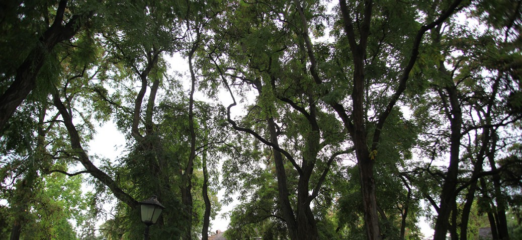 Large Tree Canopy